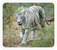 White Tiger at Bandhavgarh National Park